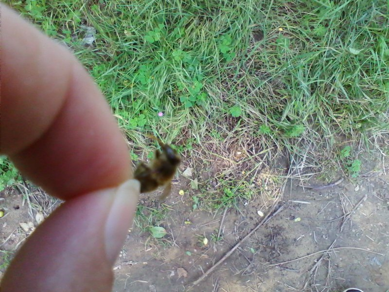 Ime: pčela.jpg Pregleda: 63 Veličina: 142.0 KB