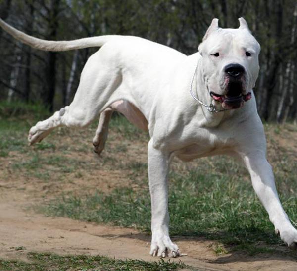 Ime: argentinski-mastif.jpg Pregleda: 22833 Veličina: 131.9 KB