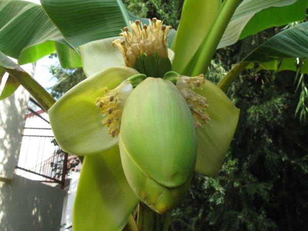 Ime: banana.jpg Pregleda: 308 Veličina: 51.5 KB