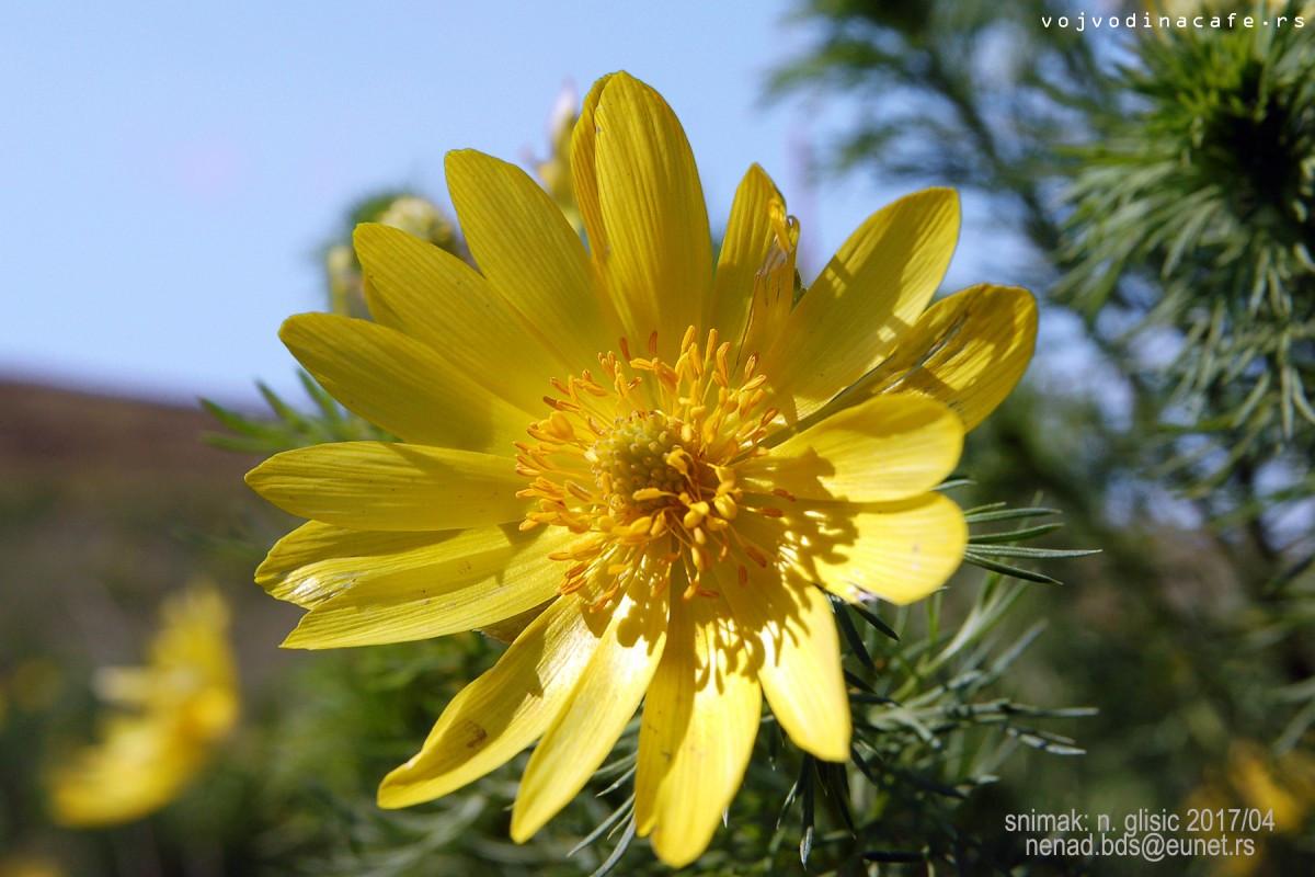 GOROCVET - Adonis vernalis L.