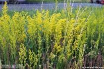 Ivanjsko cveće (Galium verum) by nenad.bds