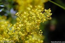Ivanjsko cveće (Galium verum)