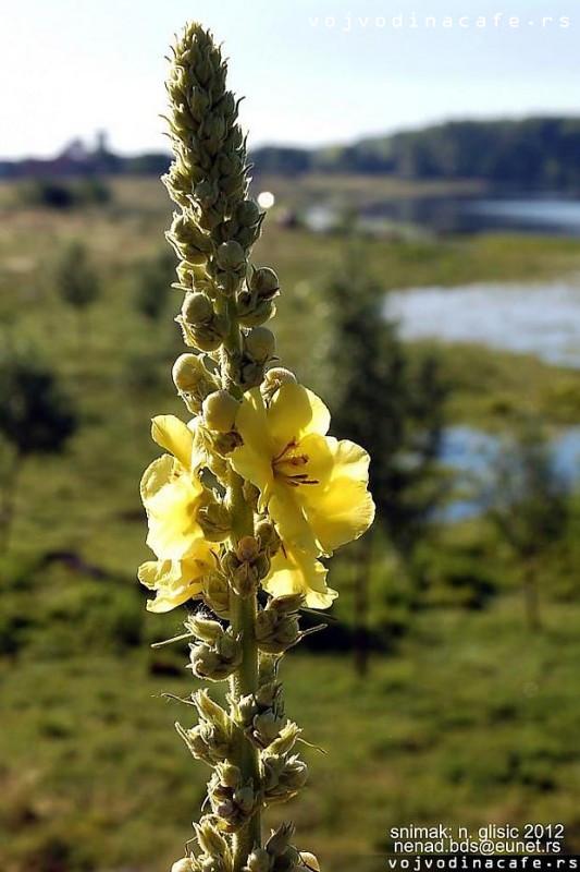 DIVIZMA - Verbascum thapsus