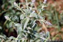 Konjski bosiljak - Mentha longifolia (L.) Huds. by nenad.bds