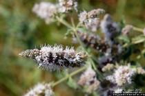 Konjski bosiljak - Mentha longifolia (L.) Huds.