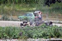 Svinje mangulice kod Kovilja